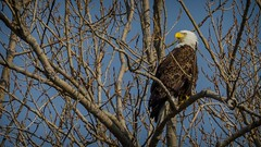 Adult Bald Eagle In The Trees (Epperly Photographic Images) Tags: trees eagle baldeagle perched birds wildlife nature nikon 200500mm
