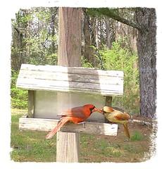 cardinal (Viper 62) Tags: cardinal maleandfemalecardinal malecardinal femalecardinal alabama usa america 2019 march spring backyard wildlife primos bird alabamawildlife