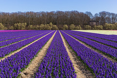 Purple hyacinths on the bulb fields (jan.vd.wolf) Tags: bulbs flowerbulbs bloembollenvelden bloembollen bloemen flowers bollen bollenvelden vogelenzang noordholland nederland nl lisse