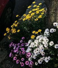 Qualcuno ha piantato dei fiori sul marciapiede (giorgiorodano46) Tags: aprile2019 april 2019 flowers giorgiorodano roma italy iphone