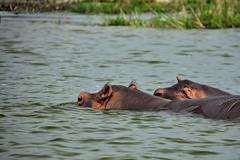 Hungry Hippos (pbr42) Tags: africa uganda queenelizabethnationalpark nationalpark hdr water lake crater h2o kazinga kazingachannel animal hippo hippopotamus nature