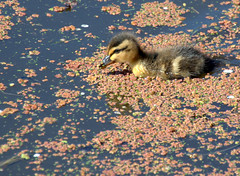 Cute duckling photo (Tony Worrall) Tags: baby cute birds bird duck duckling wild outdoors canal wer water wildlife preston lancs lancashire city welovethenorth nw northwest north update place location uk england visit area attraction open stream tour country item greatbritain britain english british gb capture buy stock sell sale outside caught photo shoot shot picture captured ilobsterit instragram photosofpreston ashtononribble ashton