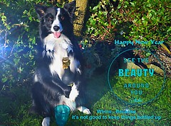 Whine because it's not good to keep things bottled up (ASHA THE BORDER COLLiE) Tags: happy new year 2019 funny dog picture border collie beauty champaign ashathestarofcountydown connie kells county down photography littledoglaughedstories