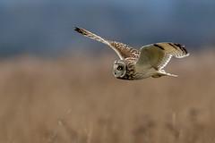 Short Eared Owl (irelaia) Tags: short eared owl wild bird grassland hunting for prey