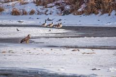 Juvenile Bald Eagle (dan.clayton) Tags: inglewoodbirdsanctuary baldeagle canadagoose canada calgary bowriver