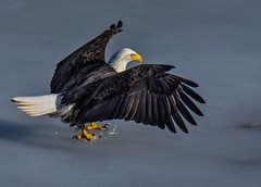 Baldy (edhendricks27) Tags: baldeagle bird wildlife animal nature nikon