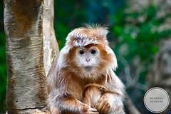 Langur (Bhargav Kesavan) Tags: langur monkey wildlife