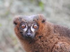 Those eyes. (Simply Sharon !) Tags: redbelliedlemur lemur primate eyes browneyes animal yorkshirewildlifepark
