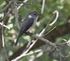 Dusky-brown Flycatcher (Muscicapa adusta)-6936 (Dave Krueper) Tags: africa aves bird birds dbfl flycatcher landbird muscicapidae passeriformes passerine southafrica
