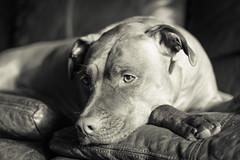 Dallas in Black & White (hcorleybarto) Tags: amstaff rescue dog