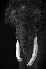 Asiatischer Elefant - Porträt (Julius310) Tags: asien asiatischerelefant natur zoo zoofotografie tier indien tierfotografie säugetier porträt tierporträt motiv osnabrück portrait