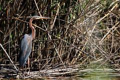 Purple Heron. (Chris Kilpatrick) Tags: chris canon canon7dmk2 outdoor wildlife nature bird animal sigma150mm600mm spain mallorca salbufera naturereserve purpleheron reeds