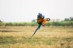 landing 1 (Aung@) Tags: macaw parrot flying landing hand continuos sony alpha a9 fe 70200 f4 lens thailand aungkw