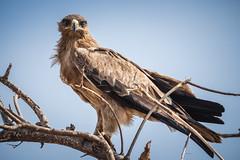Aquila eagle... (Manon van der Lit) Tags: afrika africa uganda oeganda murchison national park wildlife safari gamedrive murchisonnationalpark aquilaeagle aquilarapax tawnyeagle birdofprey savannearend savanne