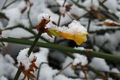 Jasminum nudiflorum - Winterjasmijn - BG Meise (Ruud de Block) Tags: ruuddeblock nationaleplantentuinmeise meisebotanicalgarden jardinbotaniquemeise oleaceae jasminumnudiflorum jasminum nudiflorum winterjasmijn