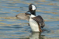 Winter bathing at -20C (Earl Reinink) Tags: duck merganser hoodedmerganser waterfowl water reflections bird animal nature wildlife bath zhuddtadea er