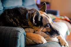 Tired (rg69olds) Tags: 1192019 40mm 5dmk4 canoneos5dmarkiv nebraska sigma40mmf14artdghsm art canon dog home honey omaha pet primelens sigma tired resting napping couch pillow germanshepard 40mmf14dghsm|a