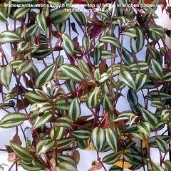 Tradescantia  zebrina (Inch Plant) on top of fridge in kitchen (Close up) 1st Februarry 2019 (D@viD_2.011) Tags: tradescantias top fridge kitchen february 2019