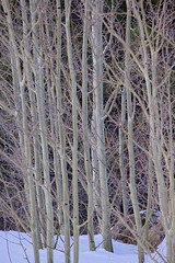 Young Aspen Grove (Shedugengan) Tags: aspen grove winter snow bare cold pattern