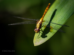Dragon Fly-1214321 (Life is so Short) Tags: dragonfly fauna