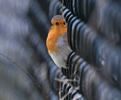 Robin in a fence... (Carl Bovis Nature Photography) Tags: animal bird bbcspringwatch birds carlbovisnaturephotography cute colour cuteness contemporary england fence light love nature nikon nikond500 naturallight natural rspb robin red somerset springwatch sigma sigma150600 sigma150600c sigma150600mmc sweet uk winterwatch wildlife yeovil suttonbingham suttonbinghamreservoir