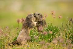 Marmots (Mary Bassani) Tags: marmots marmotta mountain pngp italy piemonte playing animalplanet animallovers animal flower ceresolereale wildlifephotographer canonwildlifephotographer canon ngc mammal mammiferi naturewildlife