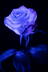 still-life 19-02-2019 006 (swissnature3) Tags: stilllife macro flowers light rose