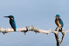 Kingfishers (Airwolfhound) Tags: kingfisher lackfordlakes suffolk