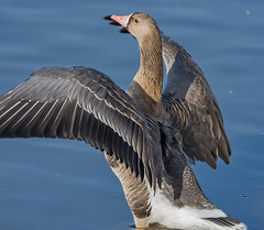 Белолобый гусь, Anser albifrons albifrons, Greater White-fronted Goose (Oleg Nomad) Tags: белолобыйгусь anseralbifronsalbifrons greaterwhitefrontedgoose птицы москва фотоохота bird aves moscow