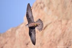 Falco della regina __010 (Rolando CRINITI) Tags: falco falcodellaregina uccelli uccello birds ornitologia avifauna rapaci carloforte sardegna natura isoladisanpietro