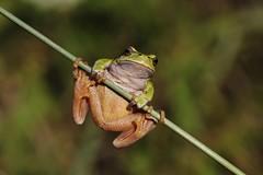 Frog (Hugo von Schreck) Tags: hugovonschreck frog frosch europeantreefrog fantasticnature canoneos5dmarkiii tamronspaf180mmf35dildifmacro11 givemefive