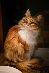 IMG_4257-1 (Helene Bassaraba) Tags: mainecoon bestofcats coth5 catmoments vg~catsgallery