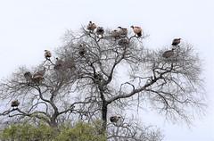 The gathering clan. (pstone646) Tags: vultures birds africa nature wildlife tree safari southafrica fauna birdsofprey raptors
