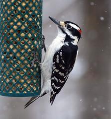 Hairy woodpecker in snow (carpingdiem) Tags: hairywoodpecker indianapolis winter 2019 birds feeder