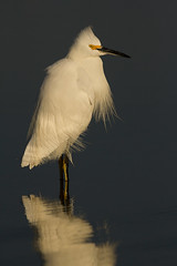 Snowy Egret (markvcr) Tags: snowy egret heron bird wildlife nature coth coth5