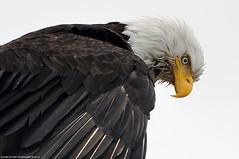 2015-02-13 Bald Eagle (11) (1024x680) (-jon) Tags: anacortes skagitcounty skagit washingtonstate washington pnw pacificnorthwest northwest salishsea pugetsound marchpoint padillabay fidalgobay haliaeetusleucocephalus baldeagle eagle bird raptor birdofprey d90archives a266122photographyproduction