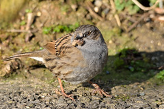 Dunnock (Prunella modularis) (grubby1949) Tags: prunellamodularis dunnock hedgeaccentor accentor sparrow birdwatcher bird birdwatchers birdwatching feather beak ukbirds gardenbirds