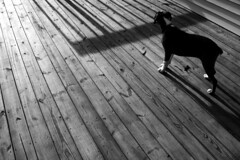 (Bob DiBono) Tags: wood deck outdoor dog pup puppy boxer shadow light lines line texture canon 550 d 5 t 2 i t2i rebel dslr digital black white bw