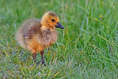 GoslingInMorningDew2 (Rich Mayer Photography) Tags: goose geese gosling animal animals wild life wildlife nature avian bird birds baby wet dew grass grasses nikon
