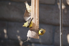 Bird Shots of 2/22/19 (boxbabe86) Tags: goldfinches lessengoldfinch nyjerseed california backyard february sony a6000 shadowpines friday feathers