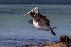 IMG_0362 (Betty AN) Tags: australianpelican pelican flying jumping bird sa