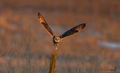 Short-eared Owl (Chuck Hantis) Tags: