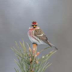 Redpoll (Joe Branco) Tags: lightroom photoshop macro flower grass bird birds nikond850 branco joe wildlifephotography joebrancophotography nikon redpoll green