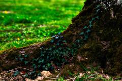 La souche et le lierre (Le dahu) Tags: green vert nature tree arbre lierre wild life d610 darktable nikon tamron 90mm