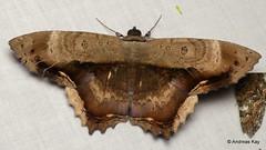 Pretty moth, Letis maculicollis, Erebidae (Ecuador Megadiverso) Tags: andreaskay calpinae ecuador erebidae letismaculicollis moth noctuidmoth noctuidae owletmoth wildsumaco