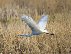 Great White Egret (wayne.withers1970) Tags: small pretty bird wings fly flight flying color colorful nature natural colour colourful wild wildlife england spring winter flickr dof bokeh naturephotography country countryside outside outdoors alive fauna flora canon sigma light blur black white brown yellow lake river feathers water wader waterfowl fine dark animal plant vegetation egret reeds wetlands large rspb
