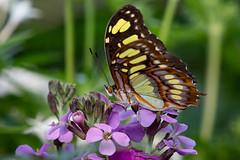 Butterfly Jungle (Bob Worthington Photography) Tags: sdzspbutterflyjungle sandiegozoosafaripark canon70200f28lisii canon7dmarkii