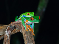 mating red-eyed treefrogs (Brian Eagar Nature Photography) Tags: em1 60mm macro olympus olympus60mmf28macro frog treefrog redeyedtreefrog costarica costaricaamphibianresearchcenter crarc rainforest spring
