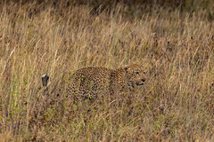 Natural Disguise (Jill Clardy) Tags: africa tanzania vantagetravel safari 201902239l8a0165 serengeti national park leopard cat animal wildlife savanna grasses golden yellow spots disguise prowling hunting