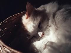 Sunshine (J.C. Moyer) Tags: hfs45150 dmcgx80 lumixgx80 lumix color colour sunshine cute pet cat ragdollcat ragdoll jamestheragdoll james